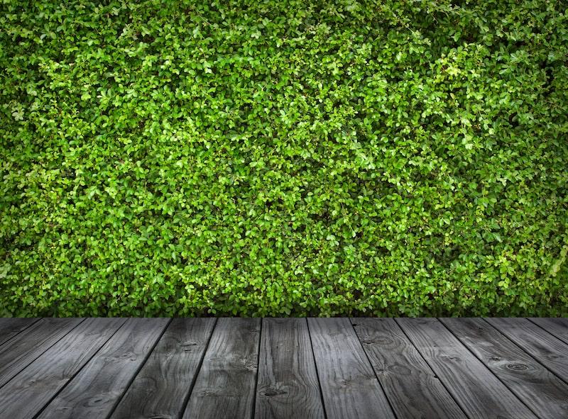 Green hedge and wood walkway